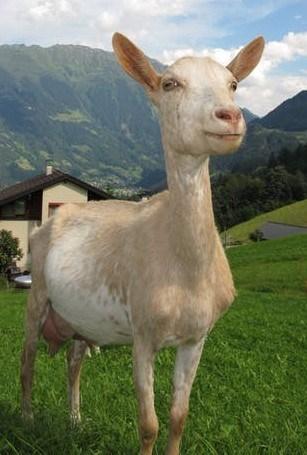 Milk Goat